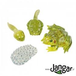 Zestaw modeli: Cykl życiowy żaby