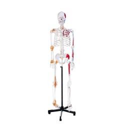 Model szkieletu człowieka,...