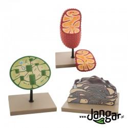 Modele 3 organelli komórkowych