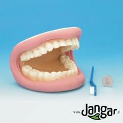 Model do nauki higieny jamy ustnej – miękki