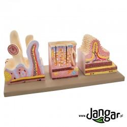 Mikroanatomia przewodu pokarmowego, 3 modele