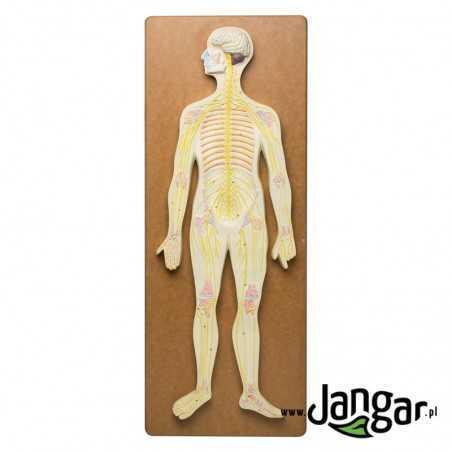 Układ nerwowy człowieka, model reliefowy
