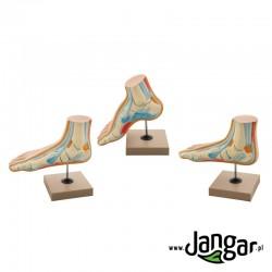 Modele 3 stóp ludzkich /prawidłowa, płaska, wydrążona/