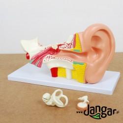 Model ucha ludzkiego, 4x, 4-cz. model podstawowy