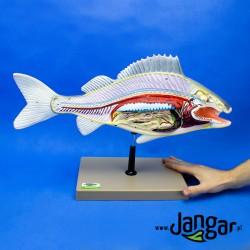 Model ryby preparowanej
