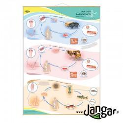 Plansza ścienna: Płazińce pasożytnicze, tasiemce cz. I, 90x130 cm