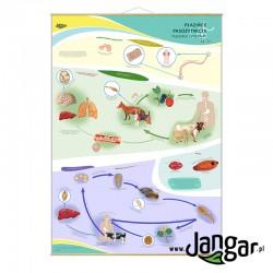Plansza ścienna: Płazińce pasożytnicze, tasiemce i przywry cz. II, 90x130 cm
