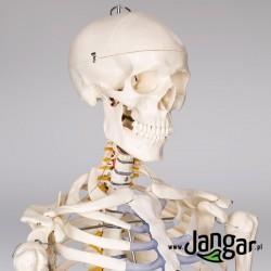 Model szkieletu człowieka na stojaku, wielkość naturalna w. II