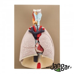 Model serca i płuc z otoczeniem, 7-częściowy