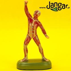 Model ogólny muskulatury człowieka, 1/10 wlk. nat.