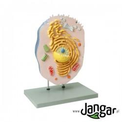 Model komórki zwierzęcej