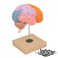 Model mózgu ludzkiego z zaznaczonymi płatami