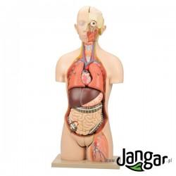 Model tułowia ludzk. z głową, 21-cz.,wlk. nat., wymienna płeć, otwarte plecy i szyja