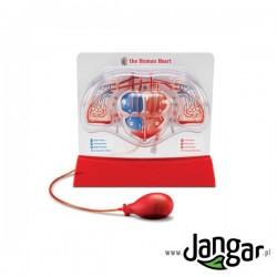 Model serca ludzkiego i krwiobiegu płucnego, pompowany
