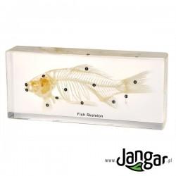 Szkielet naturalny w tworzywie: Ryba