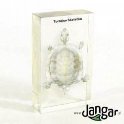 Szkielet naturalny w tworzywie: Żółw