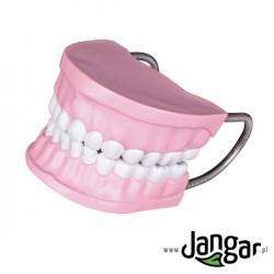 Model uzębienia do nauki higieny jamy ustnej, powiększony 3x, ze szczoteczką