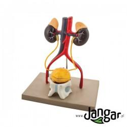 Model układu moczowego męskiego 3D, 4-częściowy