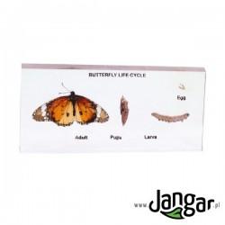 Okazy zatopione w tworzywie: Cykl życiowy motyla