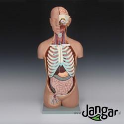 Model tułowia ludzkiego z głową, 18-częściowy, otwarte plecy i szyja, wlk. nat.