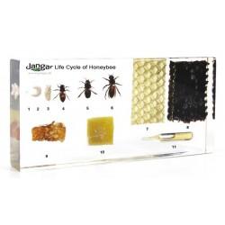 Cykl życiowy pszczoły miodnej i produkty pszczele - 11 okazów zatopionych w tworzywie