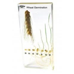 Rozwój pszenicy - 8 okazów zatopionych w tworzywie