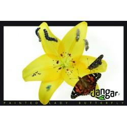Plansza laminowana 60x45cm: Cykl życiowy motyla