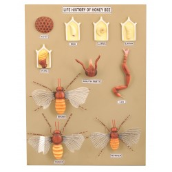 Budowa i cykl życiowy pszczoły - 10 modeli na tablicy