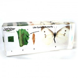 Cykl życiowy motyla - bielinka kapustnika, 4 okazy zatopione w tworzywie