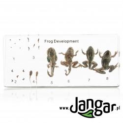 Rozwój żaby - okazy zatopione w tworzywie