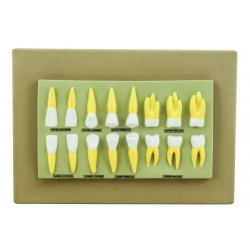 Zestaw 16 modeli zębów na tablicy