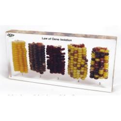 Genetyka: krzyżowanie kukurydzy - 5 okazów zatopionych w tworzywie