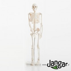 Model szkieletu człowieka, 1/2 wielkości naturalnej