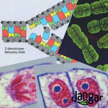Genetyka – pakiet 28 kolorowych foliogramów z opisami i kartami pracy