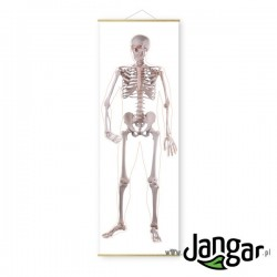 Plansza ścienna: Szkielet człowieka – przód, wys. 190 cm