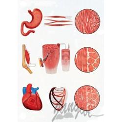 Plansza ścienna: Tkanki mięśniowe człowieka, 84x118 cm