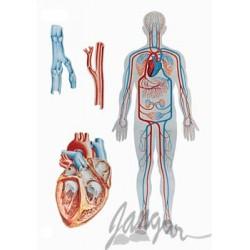 Plansza ścienna: Obieg krwi u człowieka, 84x118 cm
