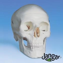 Model czaszki ludzkiej, 3-cz.