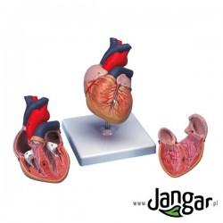 Model serca ludzkiego, 2-cz., wielkość naturalna